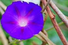 A Fully Open Blue And Purple Morning Glory Flower Vine (Ipomoea Purpurea)