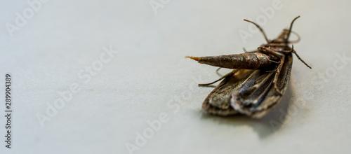 Ćma, nocny motyl, zdjęcia ultra makro - 289904389