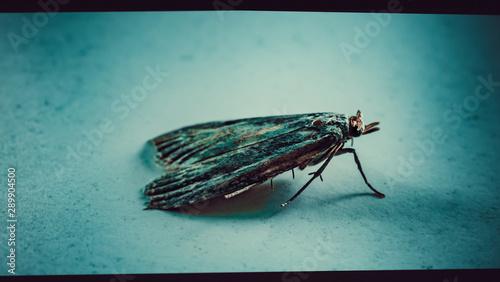Ćma, nocny motyl, zdjęcia ultra makro - 289904500