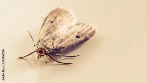 Ćma, nocny motyl, zdjęcia ultra makro - 289904520