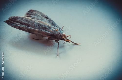 Ćma, nocny motyl, zdjęcia ultra makro - 289904599