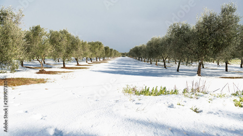 Fotografie, Obraz Beautiful Olive trees in an olive grove in the snow, Apulian landscape after a s
