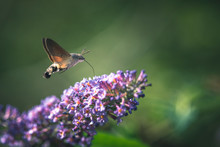 Hummingbird Hawk-moth Flying While Feeding Pink Flower