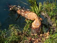 Vom Biber Gefällter Baum Am See