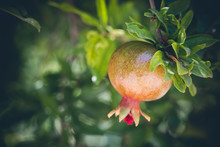 Bunch Of Pomegranate Fruit Growing On A Tree In The Garden