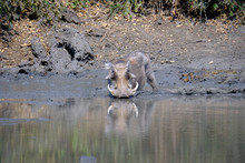 Warthog In Mana Pools National Park, Zimbabwe