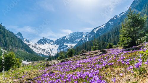 Photo Alpine landscape with purple crocus flowers in spring season on Sambetei Valley