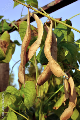 Fototapeta close-up of ripe bean (Phaseolus vulgaris) pods on the vertical support in th v