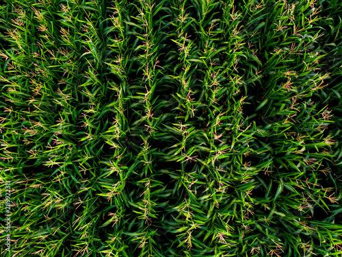 vu aérienne sur des plantations de maïs Canvas Print