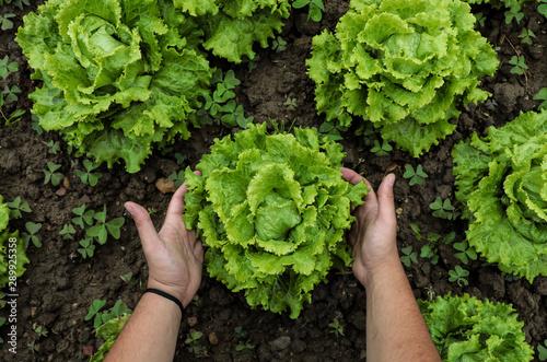 vista desde arriba de una manos cosechando lechugas verdes frescas en tierra Wallpaper Mural