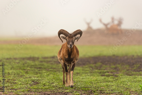 Carta da parati  An adult goat with huge swirling horns in foggy morning.
