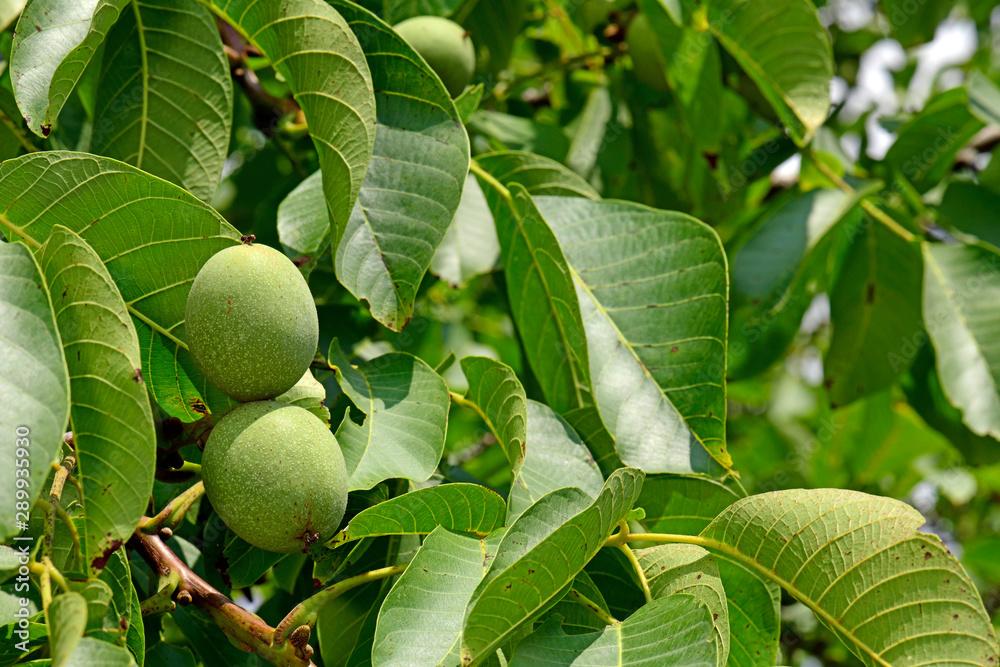 Fototapety, obrazy: Walnüsse (Juglans regia) am Baum - walnuts