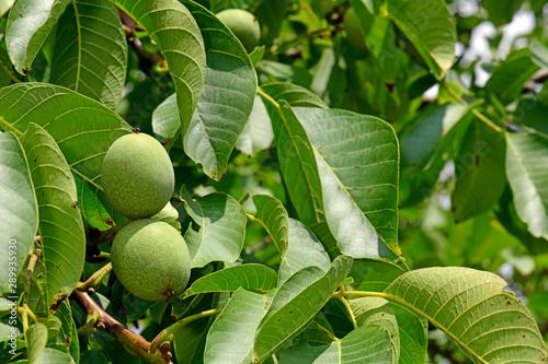 Walnüsse (Juglans regia) am Baum - walnuts - 289935930