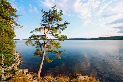 Valokuvatapetti Pine on the edge of the shore of the island on lake Ladoga .