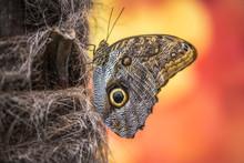 Caligo Rurilochus, Butterfly O...
