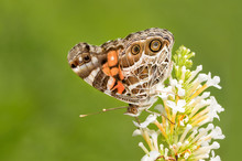 American Painted Lady Butterfly On Butterflybush Against Green Background, With Copy Space On Left