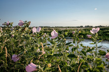 Field Of Swamp Flowers Pink Rose Mallow Hibiscus