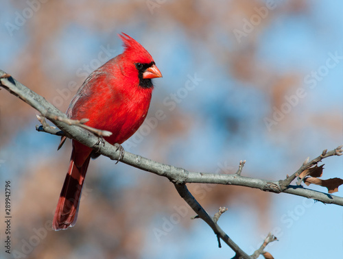 Fotografie, Obraz Male Northern Cardinal in an Oak tree in winter