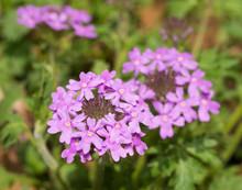 Purple Prairie Verbena Blooming In Spring