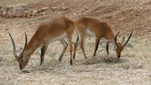 Antilope Lichi Con Lunghe Corn...