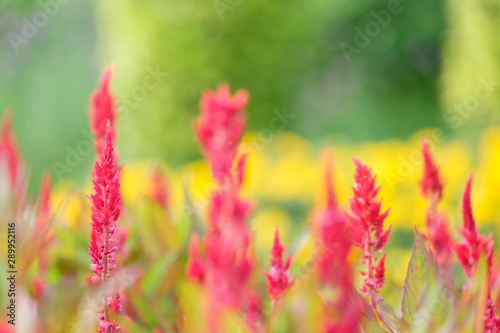 Fototapeta  Field of red plumed cockscomb or Celosia cristata in the garden on soft nature background
