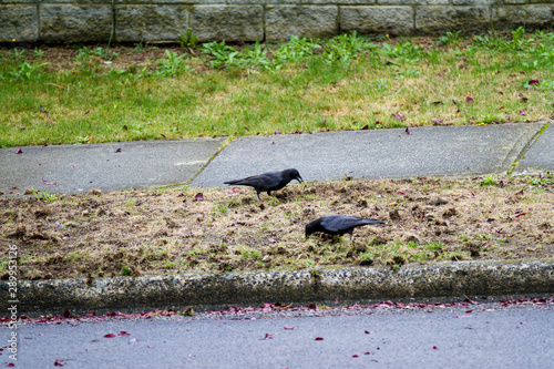 Canvas-taulu Crows dig up the lawn to find chafer grubs; Crows destroy lawn and eat chafer gr