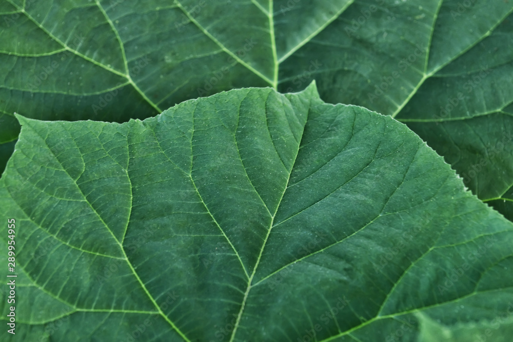 Fototapety, obrazy: Closeup view of green leaves