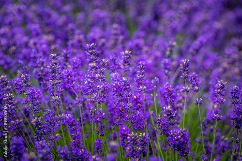 Blooming Lavender Fields In Pacific Northwest Usa Buy This Stock