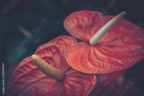 Photo Close up of Anthurium andraeanum red flower in vintage style