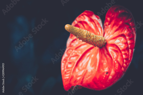 Close up of Anthurium andraeanum red flower in vintage style Wallpaper Mural