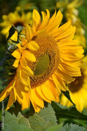 In de dag Zonnebloem Sunflower in the Garden