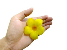 Hand Holding Yellow Allamanda Flower, Common Allamanda, Golden Trumpet, Golden Trumpet Vine, Yellow Bell (Allamanda Cathartica L.) Isolate On White Background.