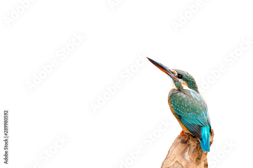 Common Kingfisher, female (Alcedo atthis) beautiful color and catch on perched a branch with isolated background
