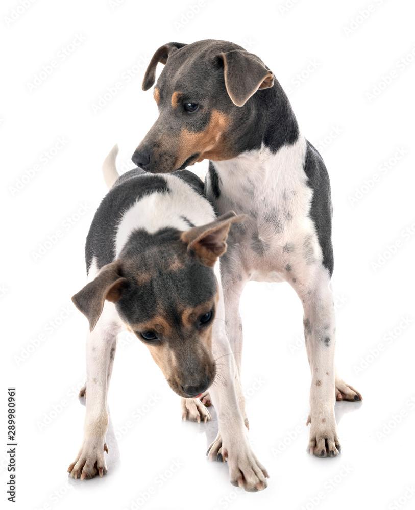 Fototapeta Brazilian Terriers in studio