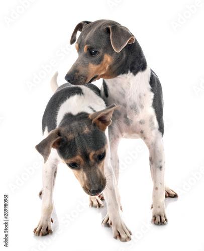fototapeta na ścianę Brazilian Terriers in studio