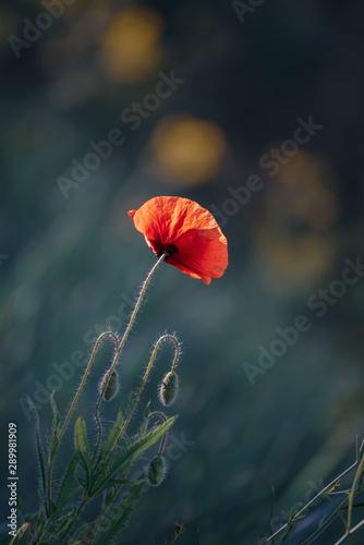 mak-czerwony-wiosenny