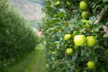 Green Apples In An Apple Plant...