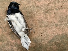 Magpie Bird Dead, Magpie Bird Killed By Cat, Most Of Magpie Birds In Nature Are Predator Of Cat.