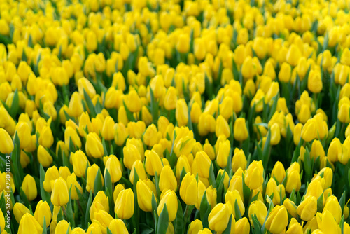 Beautiful yellow tulips. Floral background.
