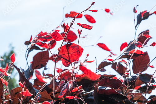 Valokuva  red beech, Fagus sylvatica Atropurpurea