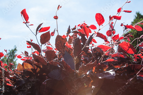 Valokuvatapetti red beech, Fagus sylvatica Atropurpurea