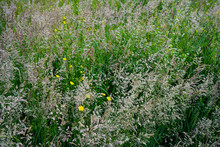 Close Up Of Tall Grass With Se...