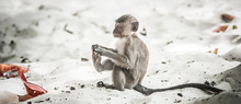 Baby Rhesus Macaque Monkey At ...