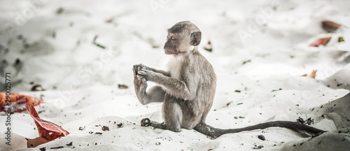 Photo sur Aluminium Singe Baby Rhesus Macaque Monkey at Monkey Beach in Thailand