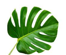 Big Dark Green Leaf Of Monster...