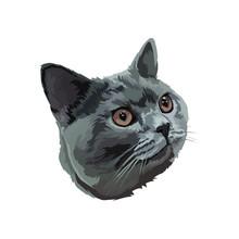 British Short Hair Cat Head On White Background
