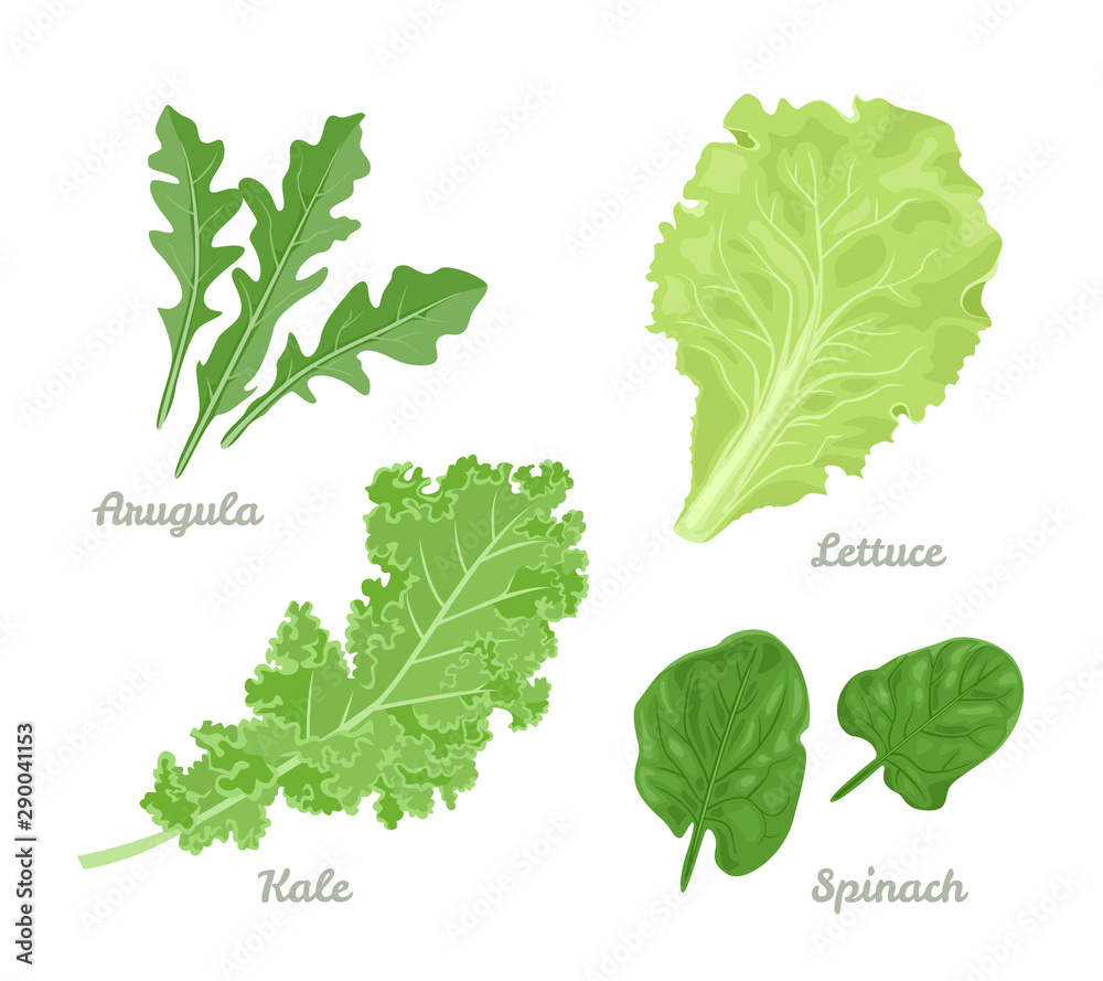 Fototapety, obrazy: Salad leaves set. Spinach, Arugula, Lettuce and Kale isolated on white background. Vector illustration of healthy food in cartoon simple flat style.