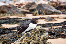Guillemot Resting On A Barnacl...