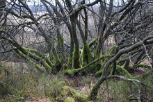 Bemooste Bäume