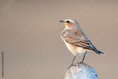 Young Northern Wheatear sitting on a branch on a beautiful background Canvas Print
